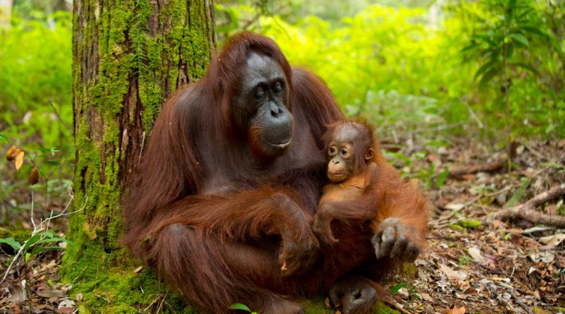 3D2N Orangutan Tanjung Puting & Camp Leakey